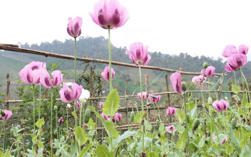 Cây hoa anh túc trên núi đẹp nhất
