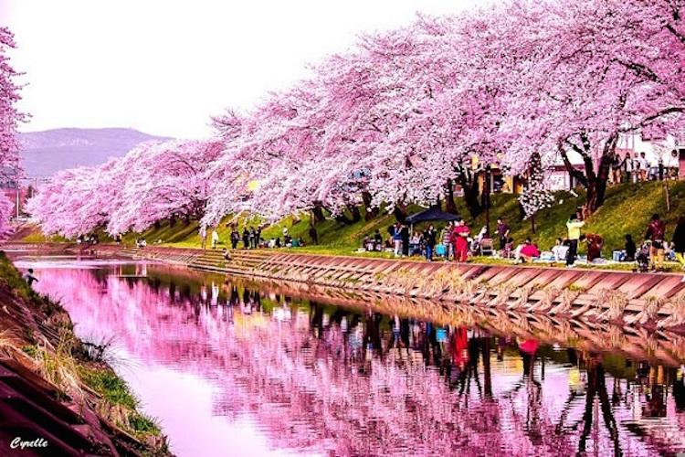 Dòng sông bên những cây hoa anh đào Nhật Bản đẹp nhất