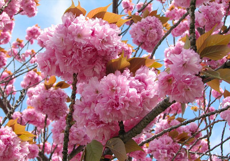 Giới thiệu hoa anh đào Nhật Bản đẹp và nở rộ