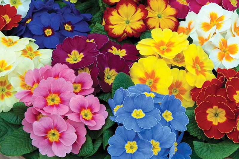 Hạt giống hoa anh thảo báo xuân đẹp nhất