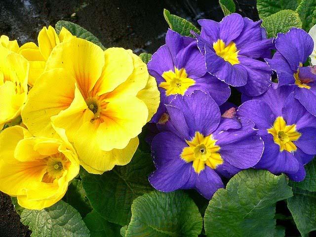 Hình ảnh của hoa anh thảo vẻ đẹp ngọt ngào