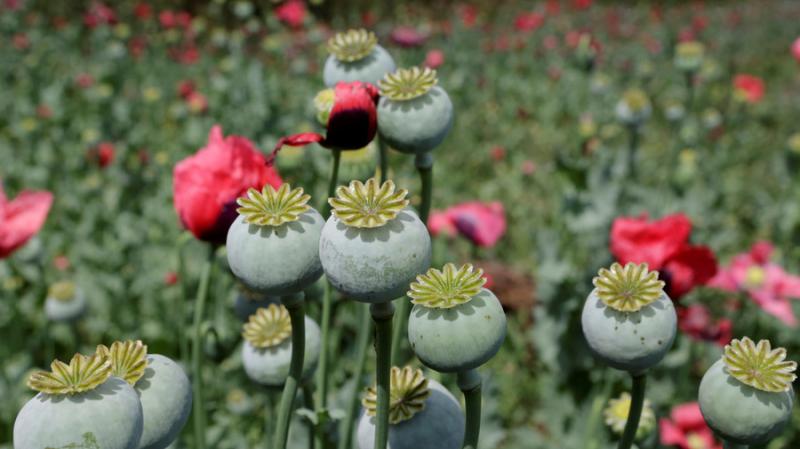Hình ảnh hạt hoa anh túc đẹp nhất