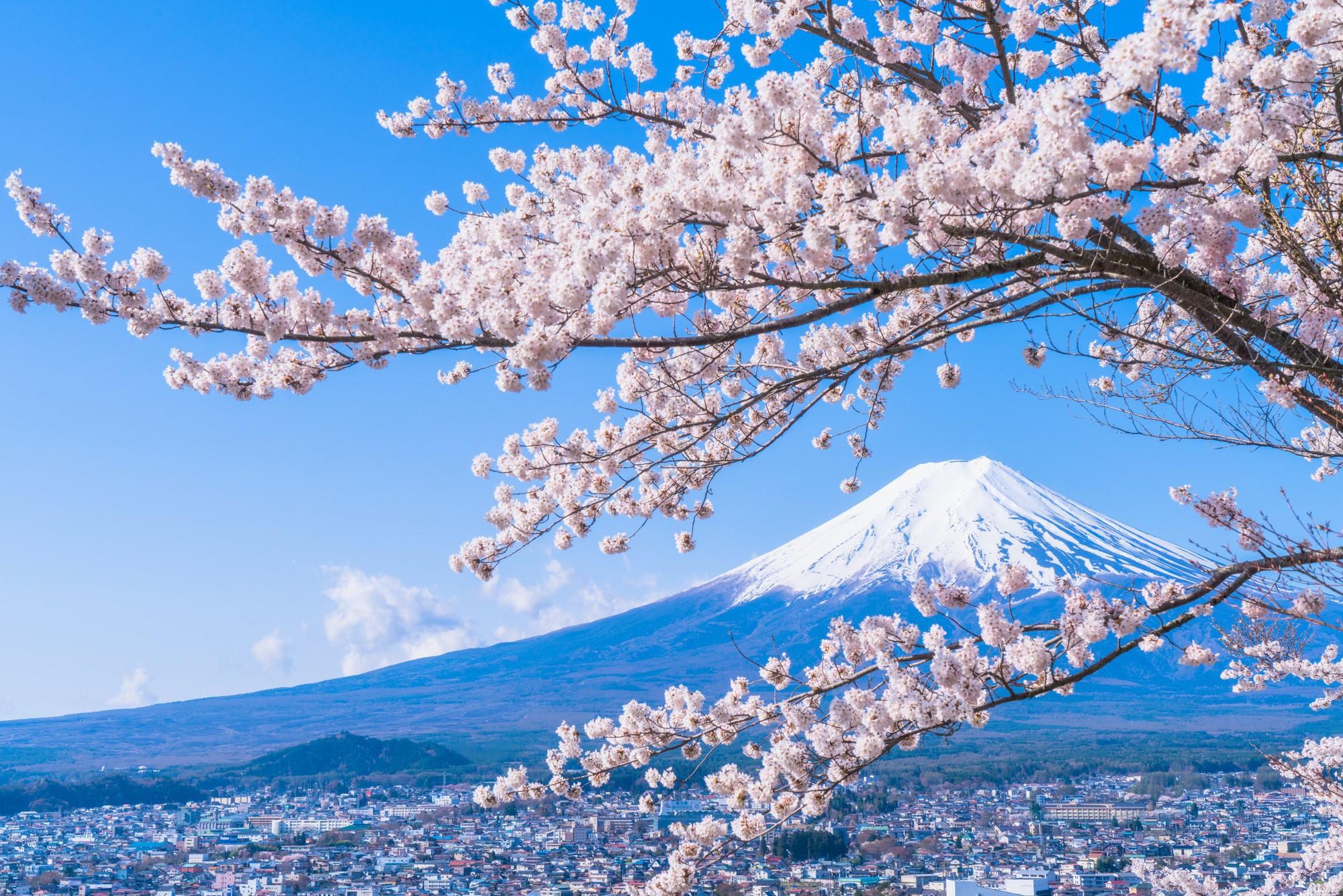 Hình ảnh hoa anh đào Nhật bản vào mùa đông lạnh giá