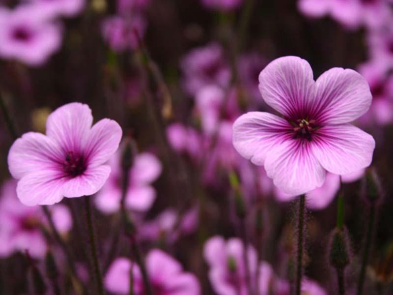 Hình ảnh hoa anh thảo đẹp nhất