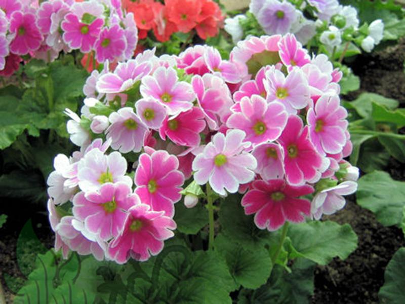 Hình ảnh hoa anh thảo nhật bản