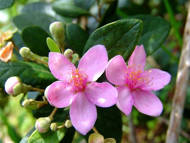 Hình ảnh hoa anh Thảo quyến rũ và đẹp nhất