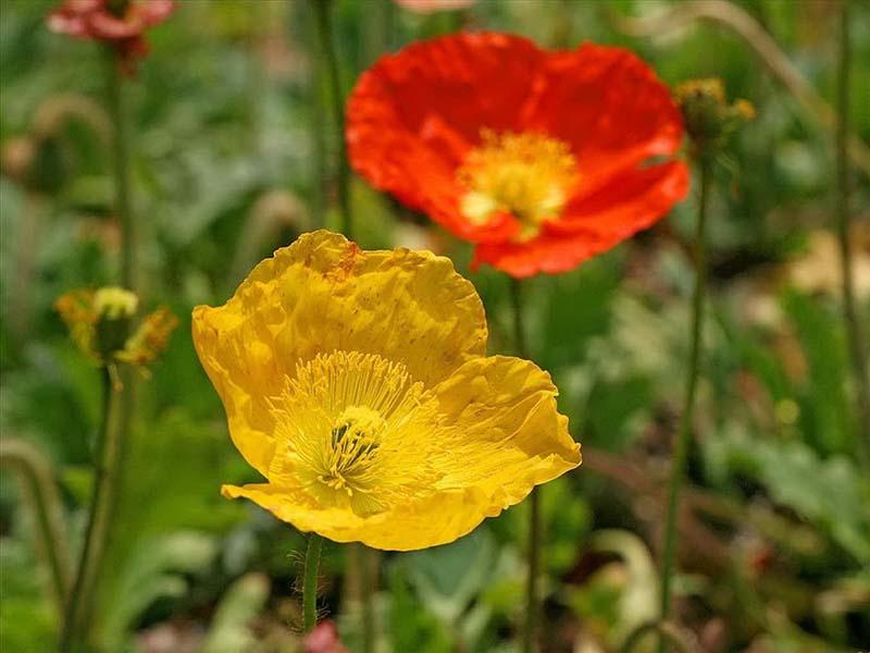 Hình ảnh hoa anh túc đẹp mê hồn