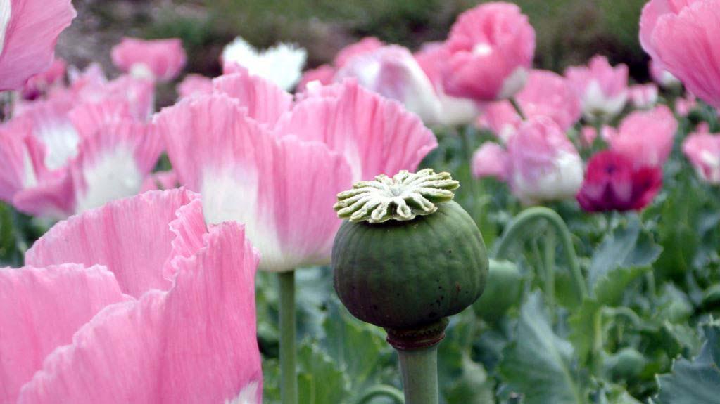 Hình ảnh hoa anh Túc đẹp và ý nghĩa nhất