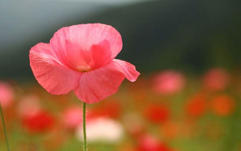 Hình ảnh hoa anh Túc mong manh trước gió