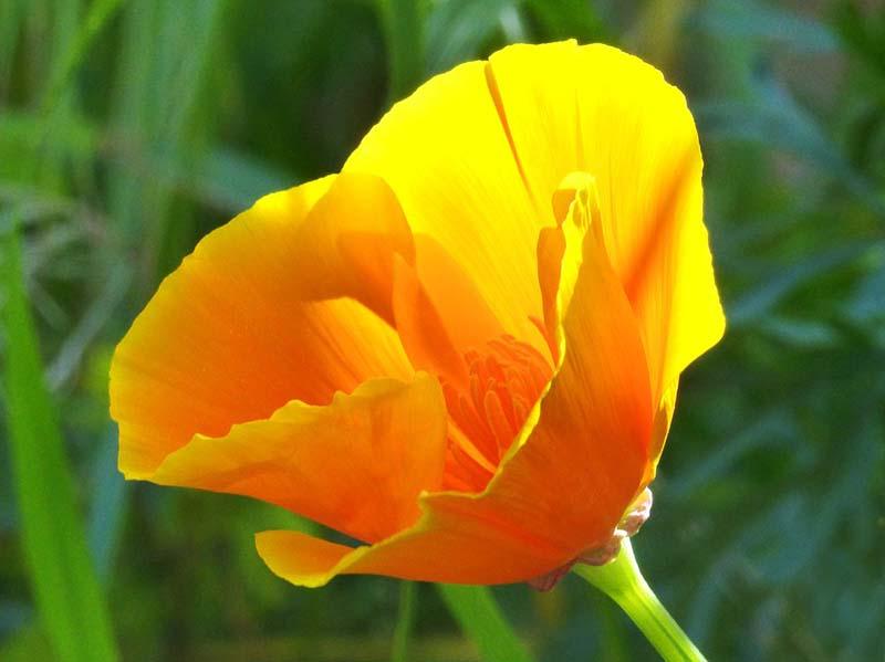 Hình ảnh hoa anh túc ở California đẹp và quyến rũ nhất