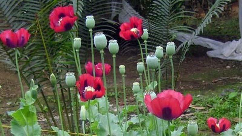 Hình ảnh hoa anh Túc vẻ đẹp chết người