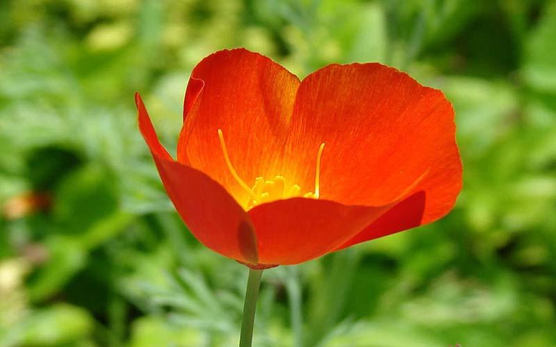 Hình ảnh hoa anh túc vẻ đẹp kiêu sa