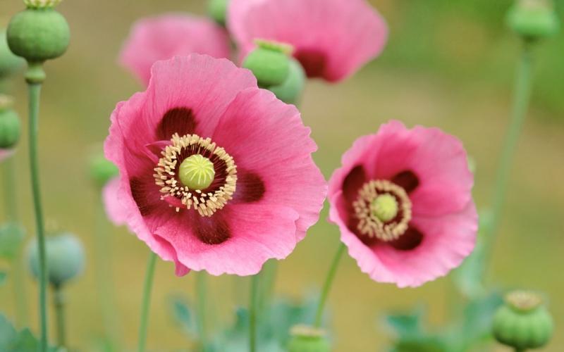 Hình ảnh loài hoa anh túc đẹp nhất thế giới