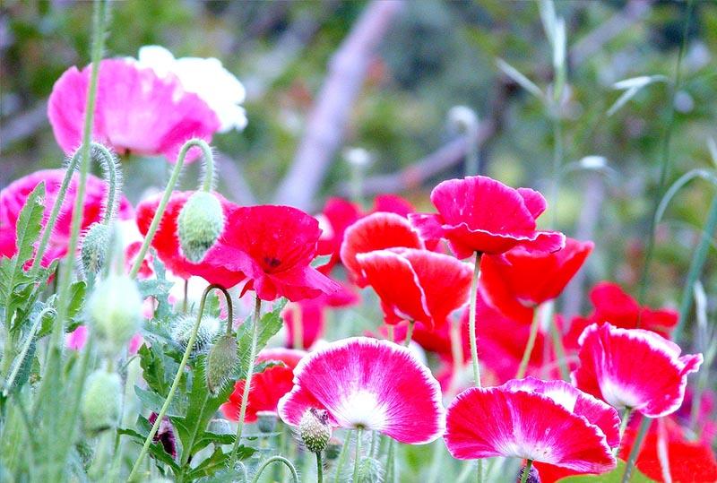 Hình ảnh mê đắm của loài hoa anh túc