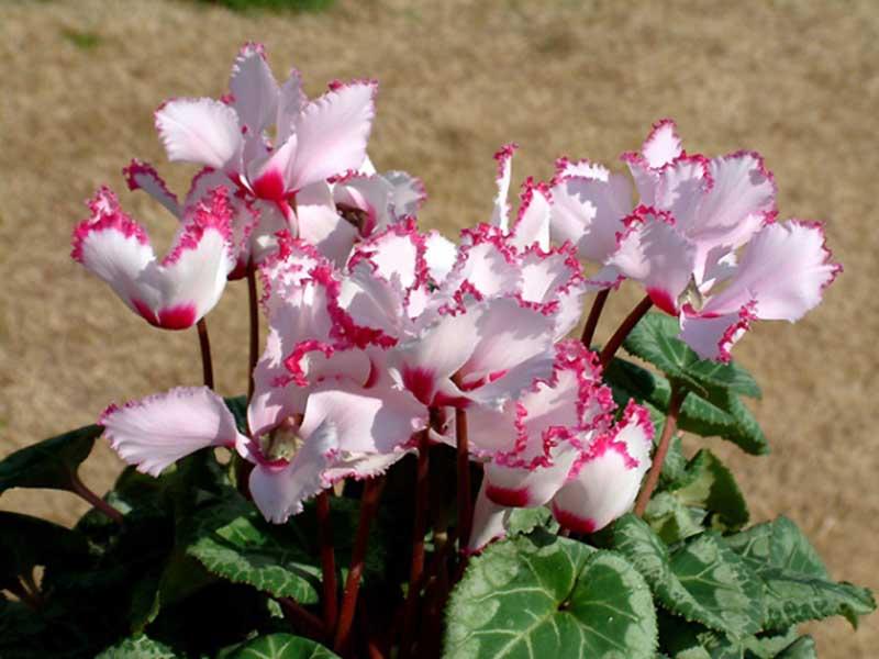 Hình ảnh ý nghĩa của cây hoa anh thảo