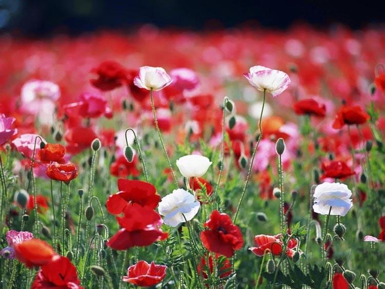 Hình ảnh ý nghĩa của hoa  anh Túc đẹp nhất