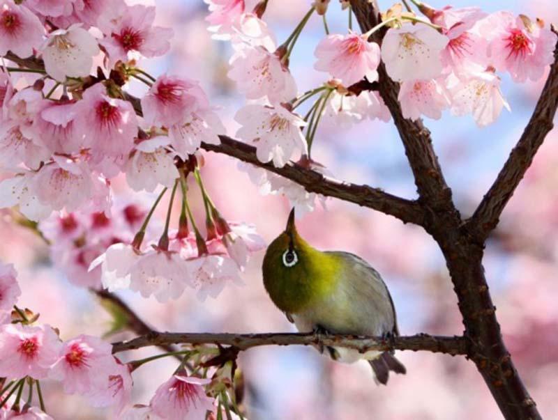 Hình nền hình ảnh hoa anh đào Nhật Bản mang vẻ đẹp tinh khôi đẹp nhất