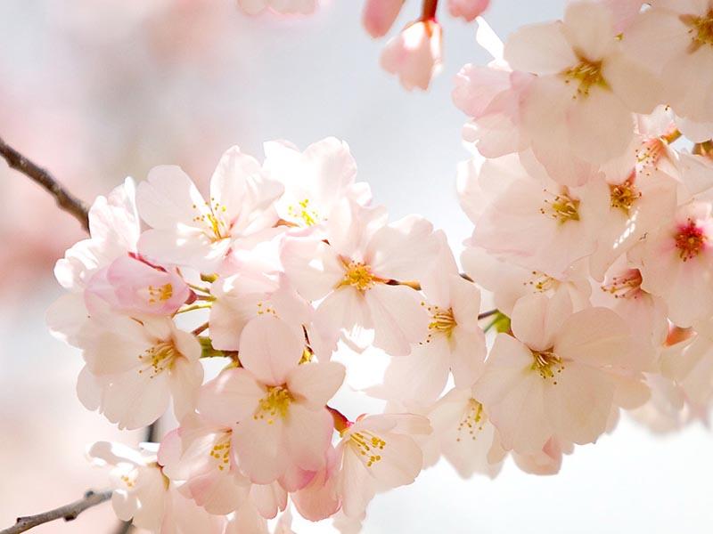 Hoa anh đào Nhật bản đẹp tinh khôi