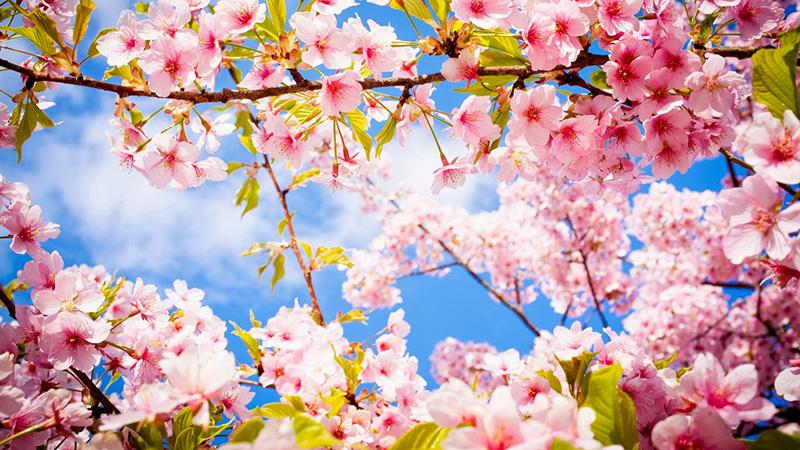 Hoa anh đào Nhật Bản hình ảnh trang trí đẹp nhất