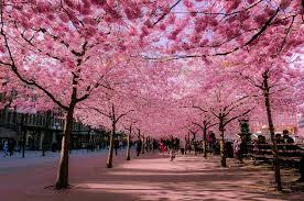 Hoa anh đào Nhật Bản nở rộ vào tháng mấy