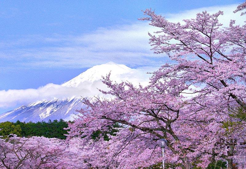 Hoa anh đào Nhật bản nở vào mùa nào