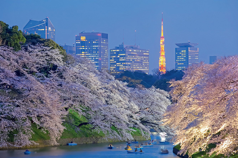 Hoa anh đào ở Nhật bản về đêm