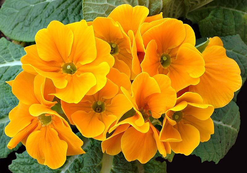 Hoa anh thảo đẹp tuyệt vời qua ánh nắng sớm mai