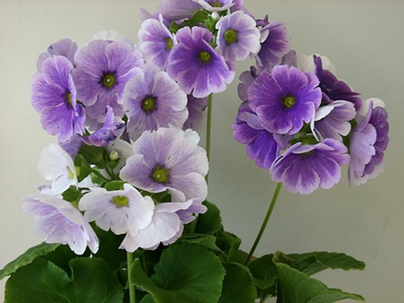 Hoa anh thảo hạt giống nhập khẩu