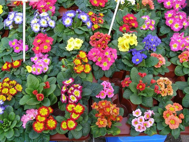 Hoa anh thảo màu sắc đẹp nhất