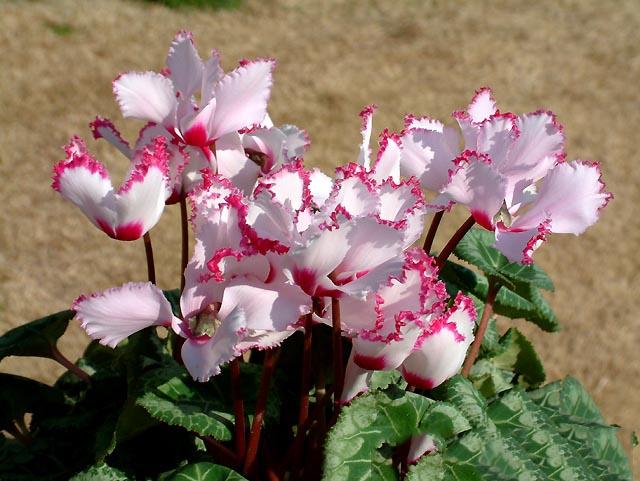 Hoa anh thảo màu trắng tinh khôi đẹp nhất
