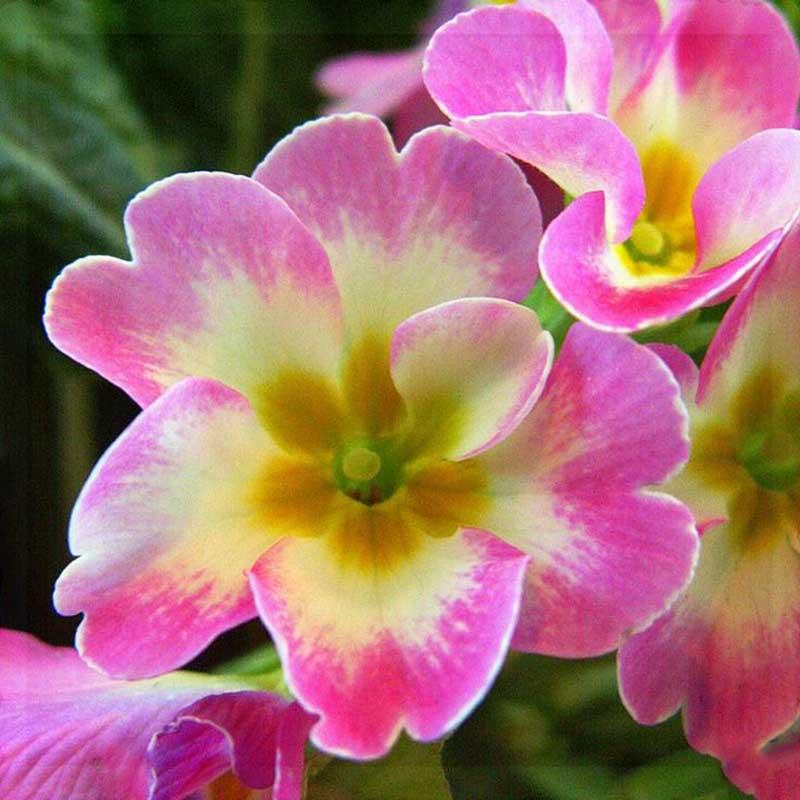 Hoa anh thảo màu vàng dẹp mắt