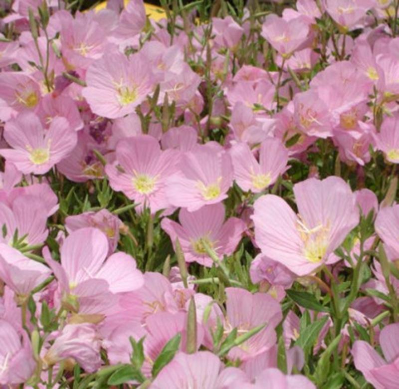 Hoa anh thảo vào buổi chiều đua nhau khoe sắc
