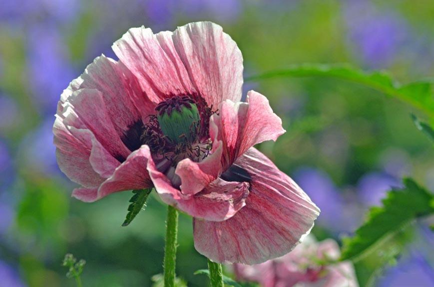 Hoa anh túc đẹp nhất thế giới