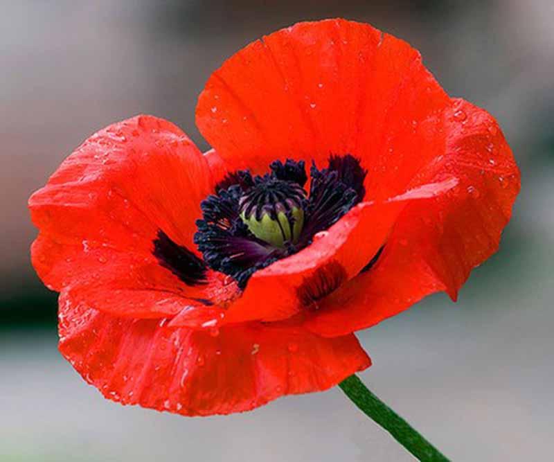 Hoa anh túc một trong 6 loài hoa đẹp nhất thế giới