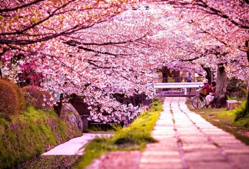 Lễ hội hoa anh đào Nhật Bản diễn ra vào tháng mấy