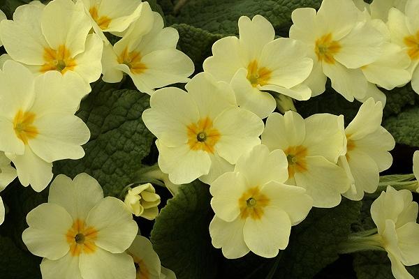 Lịch sử ý nghĩa hình ảnh của hoa anh thảo