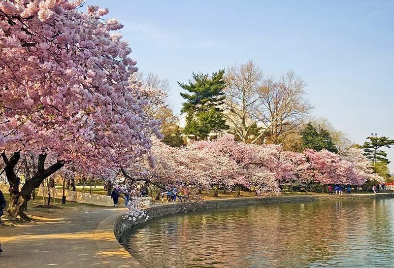Mê hoặc với vẻ đẹp hoa anh đào ở Nhật Bản