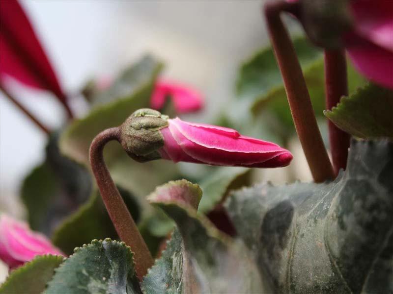 Ngắm nhìn hạt giống hoa anh thảo đẹp nhất