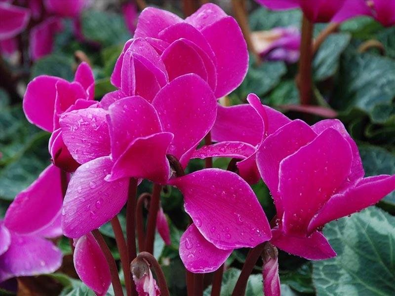 Ngắm những hình ảnh hoa anh đào đẹp thắm