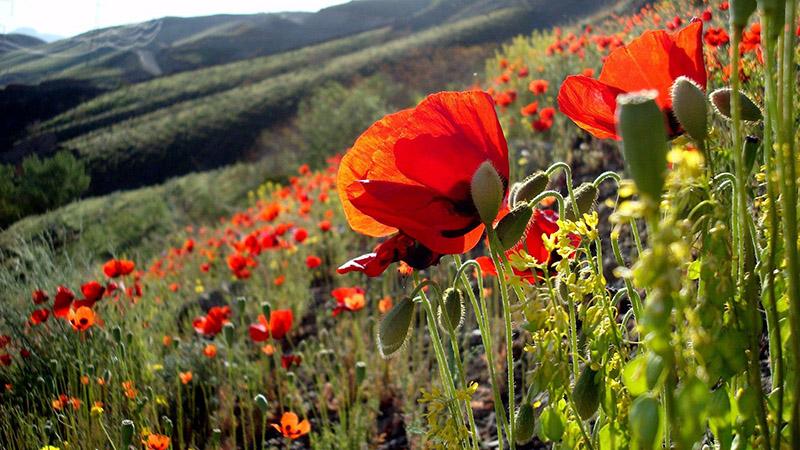 Ngây ngất trước vẻ đẹp đầy màu sắc của hoa anh Túc