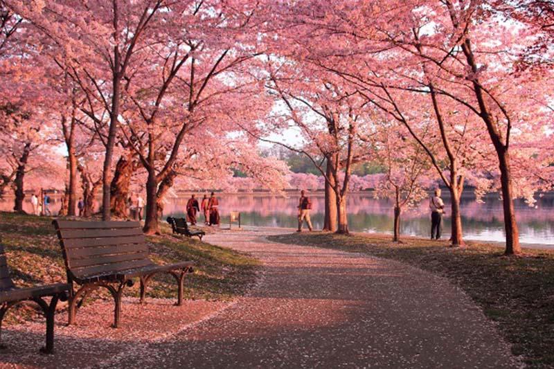 Nghẹt thở với vẻ đẹp của hoa anh đào Nhật Bản
