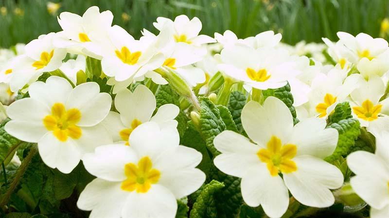 Những bức hình đẹp nhất của hoa anh thảo
