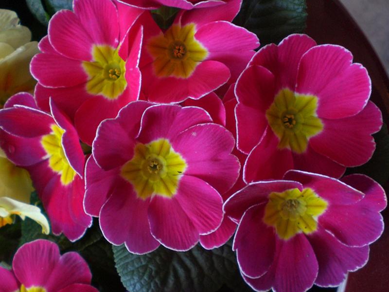 Những hình ảnh đẹp của hoa anh thảo rực rỡ suốt nắng mai