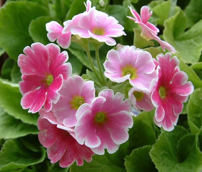 Những hình ảnh đẹp của hoa anh thảo