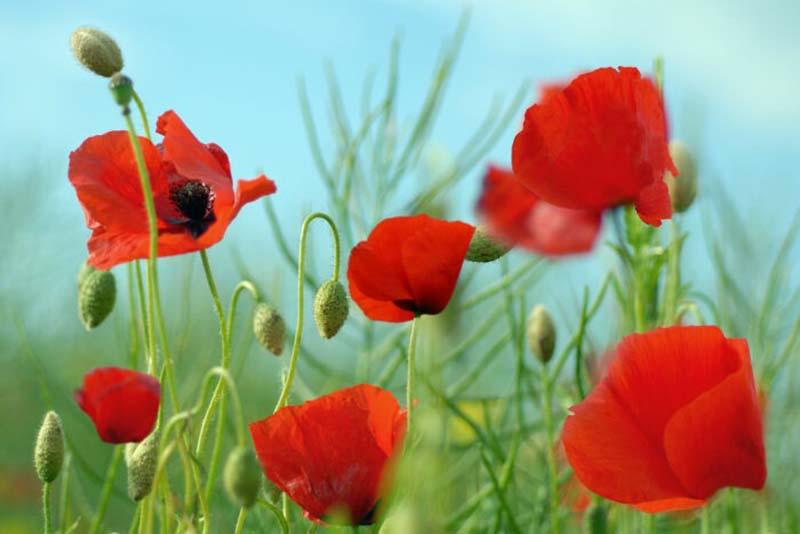 Những hình ảnh hoa Anh Túc đẹp nhất