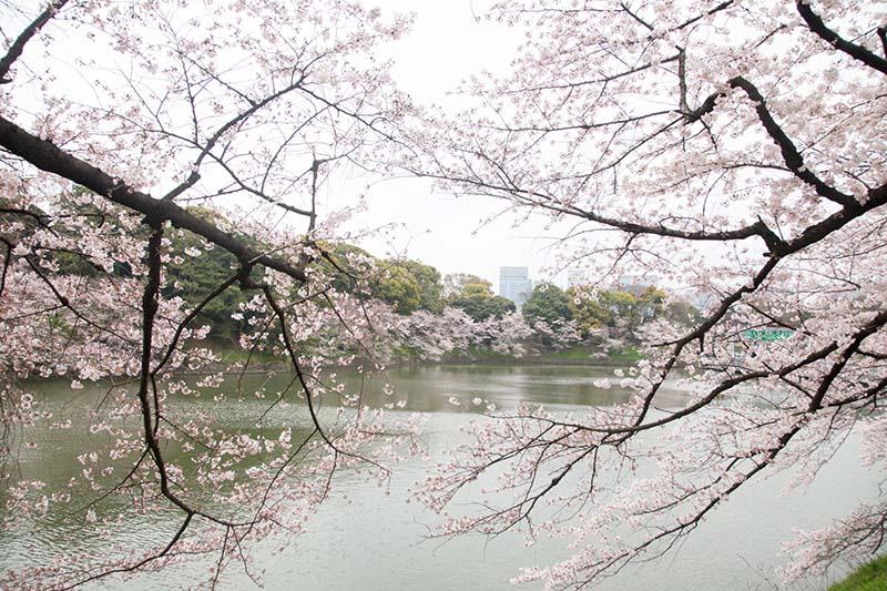 Phong cảnh đẹp mê hồn của hoa anh đào Nhật Bản