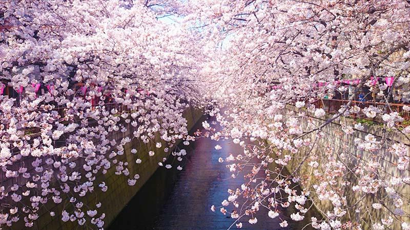 Phong cảnh hoa anh đào Nhật Bản đẹp nhất