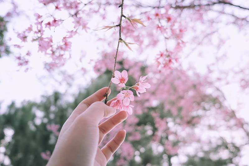 Phong cảnh hoa anh đào ở Nhật bản