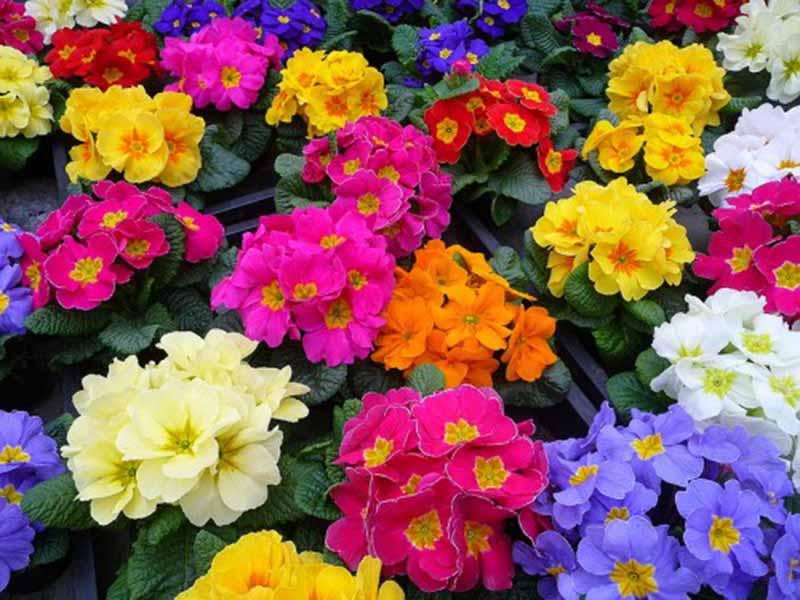 Tặng quà hoa anh thảo đẹp mong manh