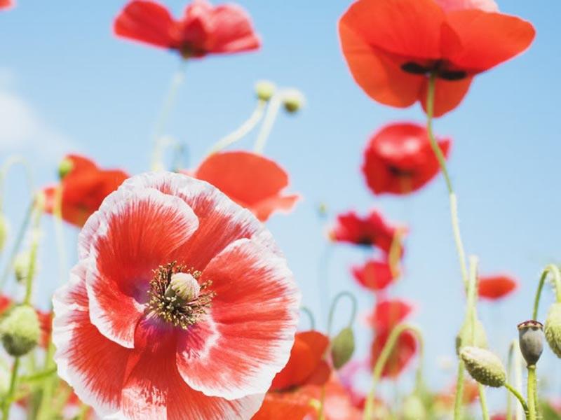 Thơ ca về loài hoa anh túc